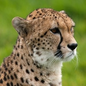 Cheetah-Facts